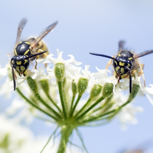 Wasps foraging
