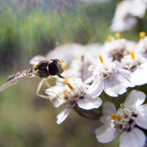 Hoverfly foraging