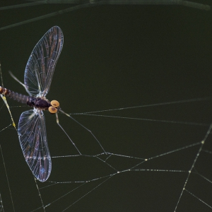 Mayfly caught in web