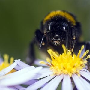 Large bumblebee