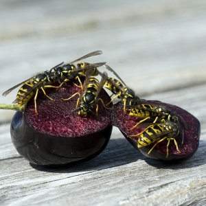 Wasps on fruit