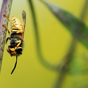 Vespula sp cleaning