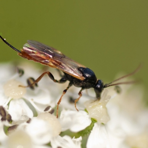 Parasitoid wasp feeding on nectar