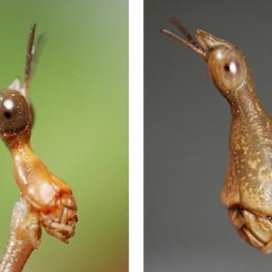 Horsehead grasshoppers