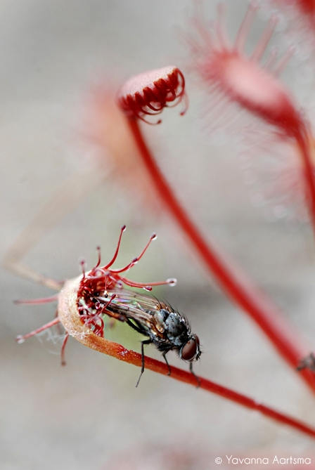 Fly trapped in Drosera plant
