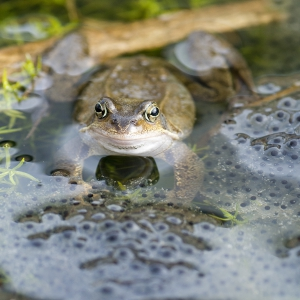 Frogspawn and frog