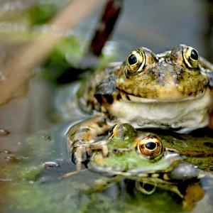 Calling frogs