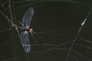 Mayfly in spider web
