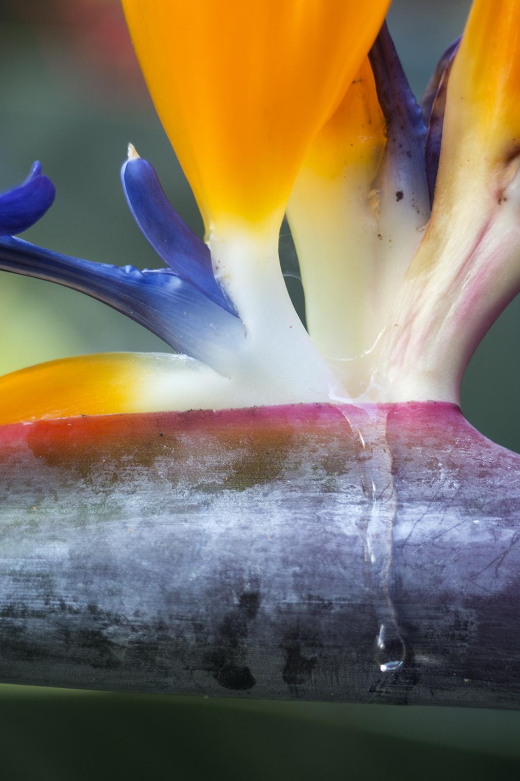 Traan op paradijsvogelbloem