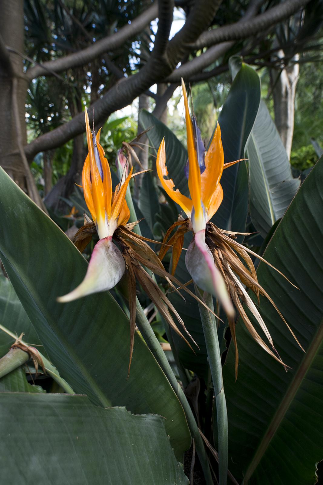 Paradijsvogelbloemen