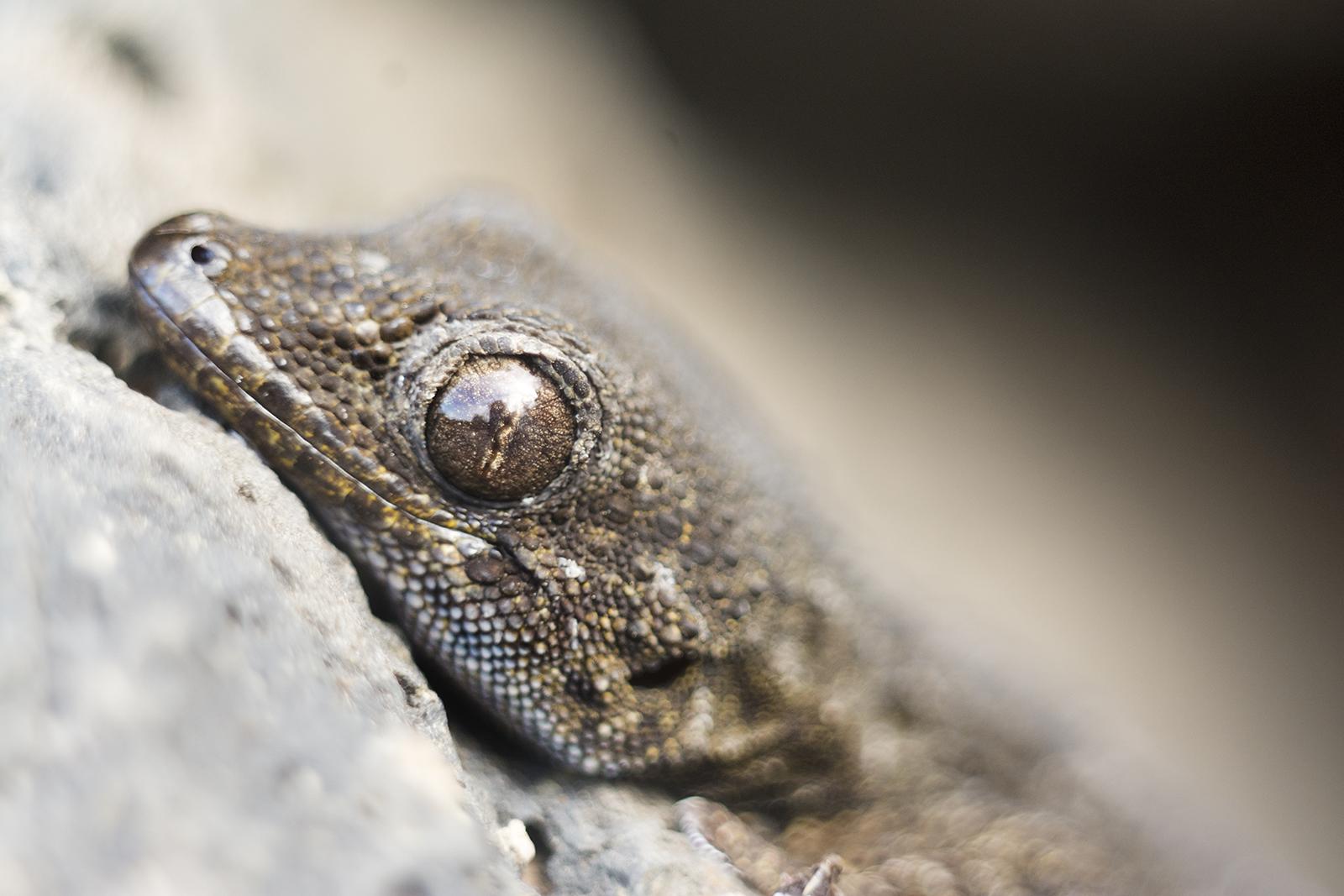 Tenerife gekko close-up