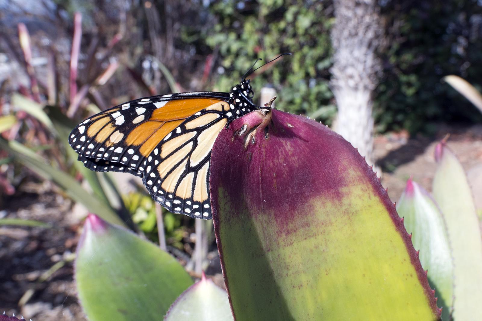 Monarchvlinder Tenerife