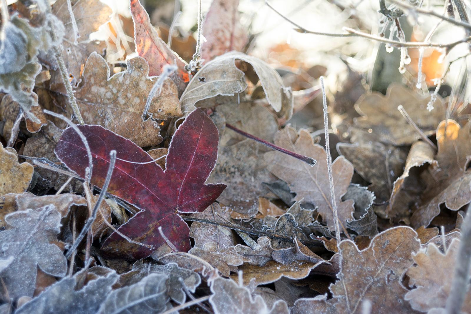 Bevroren herstbladeren
