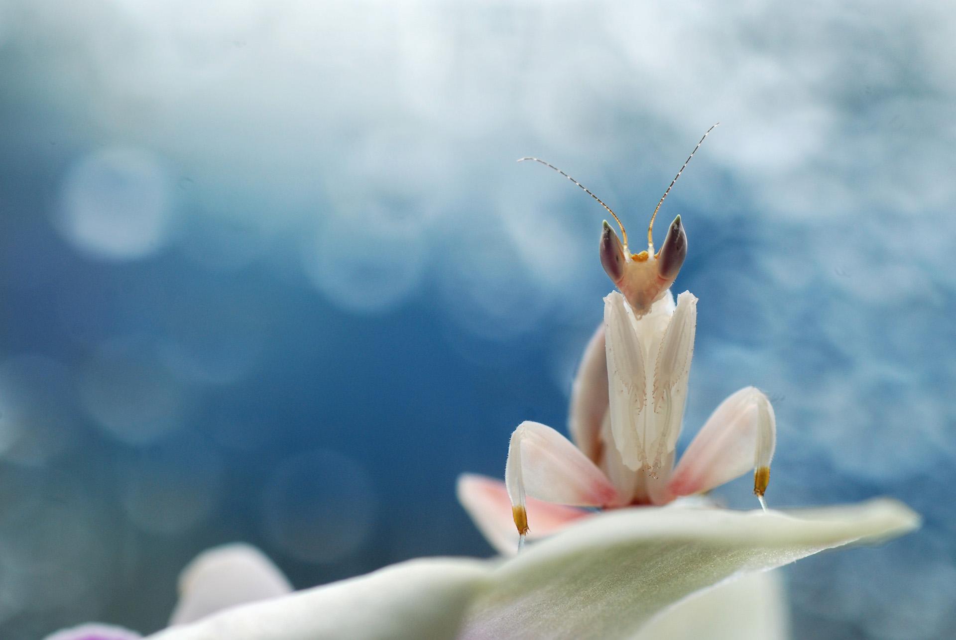 Mantids – Mantidae