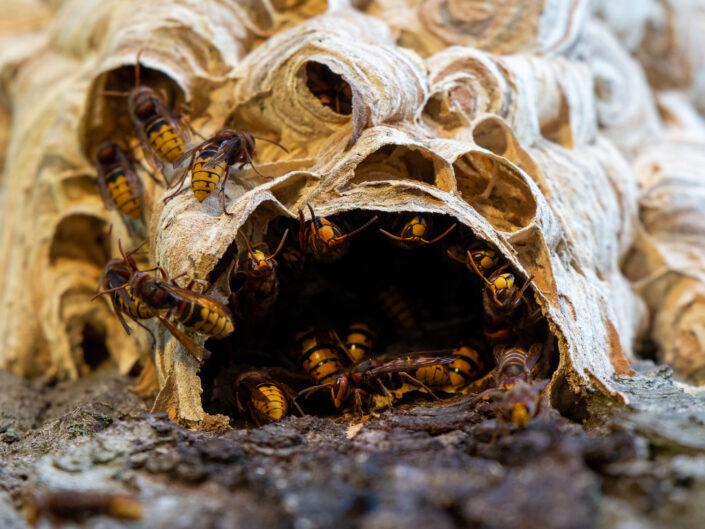 Bees, wasps and ants – Hymenoptera